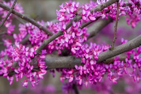 flowering branch of the Judah tree for Easter