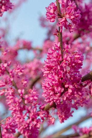 Branch of the Judea tree in bloom for the Easter holiday Stock Photo