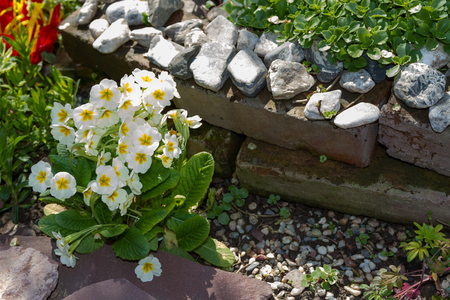 beautiful bush primrose in the garden as a decoration on the hill