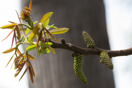 spring flowering of walnut with earrings on a branch