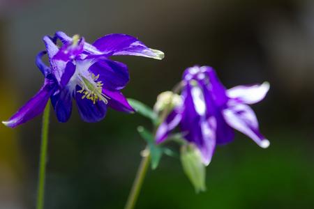 Flower garden violet bell growing in the sun