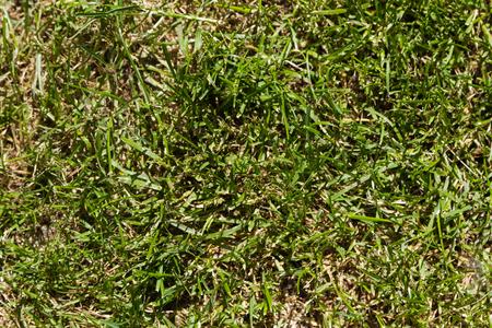 Seamless texture of green grass on lawn cut