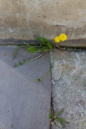 dandelion grown in concrete between wall and floor