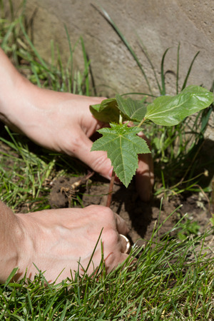 Planting plants in the spring in the ground with female hands