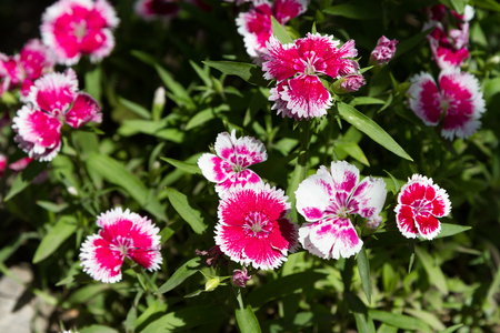 Shrub of a multi-colored garden carnation on a flower bed