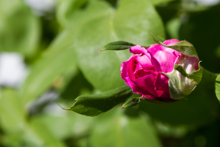 Unbroken rose bud with green leaves in the sun