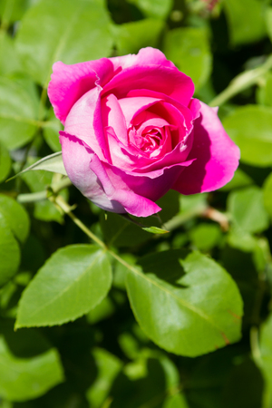beautiful bud of tea rose blossomed in the sun