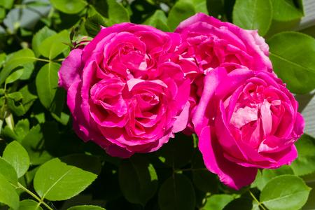 big pink bud of tea rose blooming in the sun Reklamní fotografie