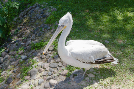 big white pelican resting on the grass by the pond Reklamní fotografie