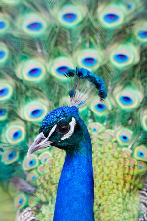 beautiful blue peacock with an open colorful tail close-up shot