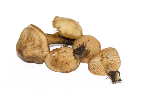 Marasmius oreades, the Scotch bonnet, is also known as the fairy ring mushroom or fairy ring champignon. Edible mushroom isolated on white background. Stock Photo