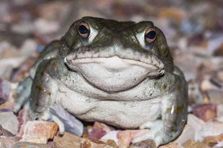 The Colorado River toad (Incilius alvarius), the Sonoran Desert toad, is a psychoactive toad found in northern Mexico and the southwestern United States. Its toxin contains 5-MeO-DMT and bufotenin.