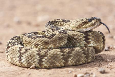 Crotalus molossus è una specie di vipera velenosa trovata negli Stati Uniti sud-occidentali e in Messico. Macro ritratto. Nomi comuni: serpente a sonagli dalla coda nera, sonaglio verde, nordico coda nera