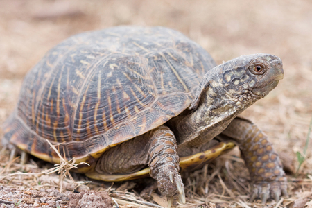 The desert box turtle (Terrapene ornata luteola) is a subspecies of box turtle which is endemic to the southwestern United States and northern Mexico.