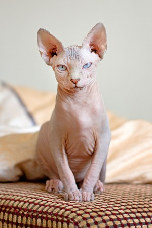 The Sphynx cat is a breed of cat known for its lack of coat (fur). It was developed through selective breeding, starting in the 1960s.