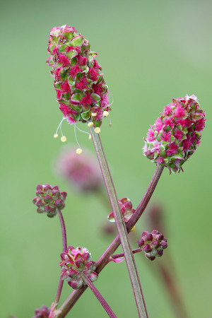 Sanguisorba minor, the salad burnet, garden burnet, small burnet, burnet, is a plant in the family Rosaceae that is native to western, central and southern Europe