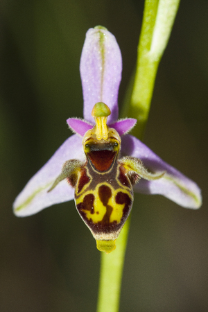 Ophrys scolopax, known as the woodcock bee-orchid or woodcock orchid, is a species of terrestrial orchid found around the Mediterranean and the Middle East, from Morocco and Portugal to Hungary and Iran