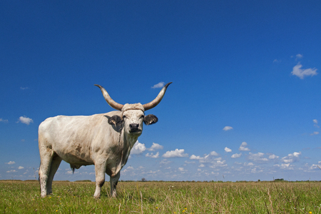 Hungarian Grey cattle (Hungarian: Magyar Szurke), also known as Hungarian Steppe cattle, is an ancient breed of domestic beef cattle indigenous to Hungary. Reklamní fotografie