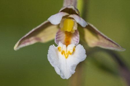 Epipactis palustris, marsh helleborine macro flowers
