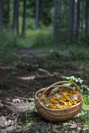 Basket full with forest mushrooms; Cantharellus cibarius, Boletus edulis, and other edible ones. Chanterelle is the common name of fungi in the genus Cantharellus. Reklamní fotografie