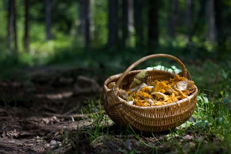 Basket full with forest mushrooms; Cantharellus cibarius, Boletus edulis, and other edible ones. Chanterelle is the common name of fungi in the genus Cantharellus. Stock Photo