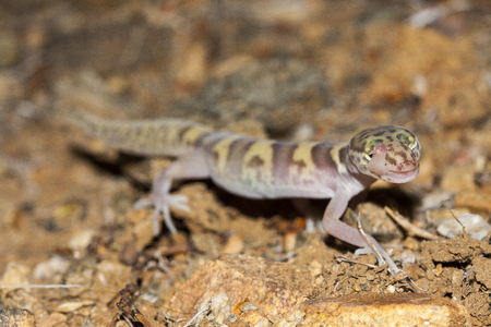 The western banded gecko (Coleonyx variegatus) is a species of gecko found in the southwestern United States. Individual licking his eye