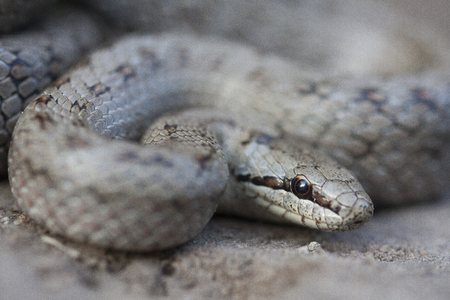 Smooth snake (Coronella austriaca) is a non-venomous colubrid species found in northern and central Europe, but also as far east as northern Iran