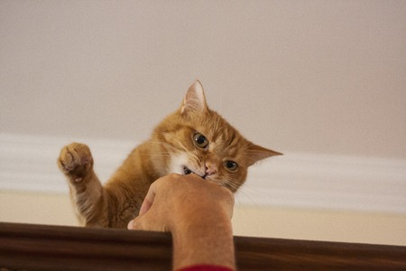 Angry red cat fighting against a humans hand