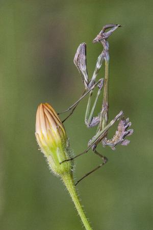 Empusa sp. in Turkey, conehead mantis