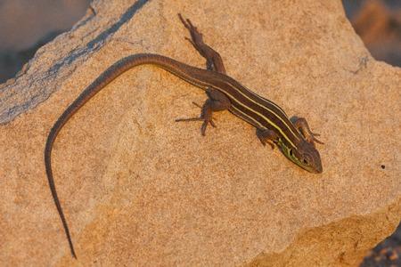 Lacerta trilineata, green lizard on a rock Reklamní fotografie