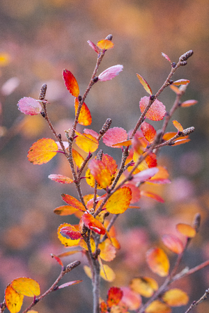Betula nana, the dwarf birch, is a species of birch in the family Betulaceae, found mainly in the tundra of the Arctic region. Reklamní fotografie