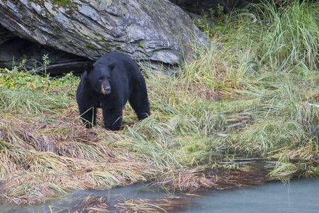 The American black bear (Ursus americanus) is a medium-sized bear native to North America. Searching for food in small creek. Reklamní fotografie