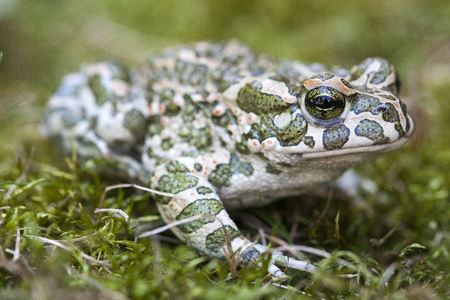 The European green toad (Bufo viridis) is a species of toad found in mainland Europe. Reklamní fotografie