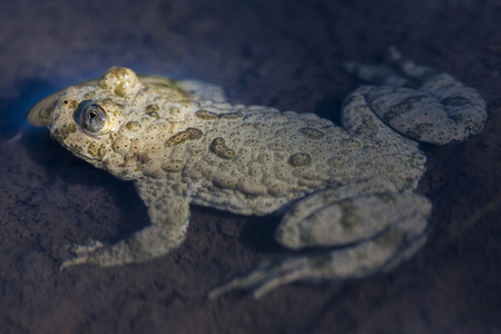 The yellow-bellied toad (Bombina variegata) belongs to the order Anura, the archaeobatrachial family Bombinatoridae, and the genus of fire-bellied toads.