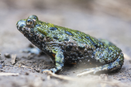 The European fire-bellied toad (Bombina bombina) is a fire-bellied toad native to mainland Europe.