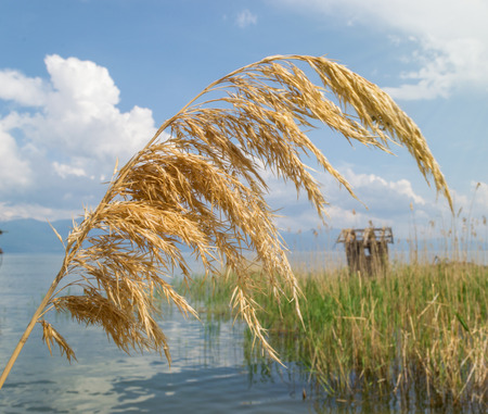 common reed: Golden reed in the lake