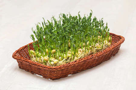 Micro greens sprouts of peas in a small basket