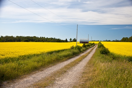 Bright yellow crops with rural road Stock Photo