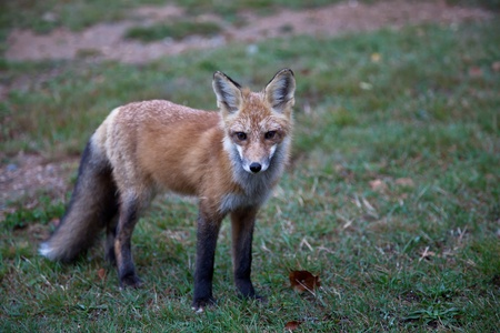 Red North American fox cub, grass background photo