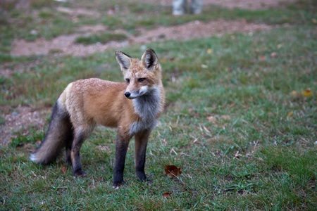 canid: Red North American fox cub, grass background