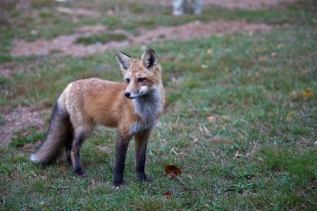 Red North American fox cub, grass background