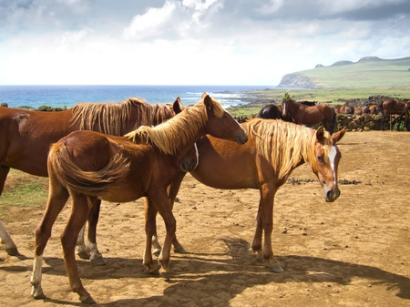 Free Running Horses staring, Easter Island Stock Photo