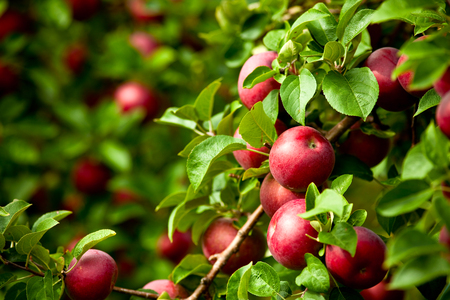 Organic red ripe apples on the orchard tree with green leaves closeup