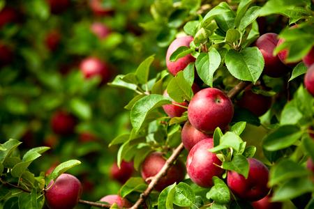 Orgánico rojo manzanas maduras en el árbol de la huerta con las hojas verdes primer plano Foto de archivo - 45276700
