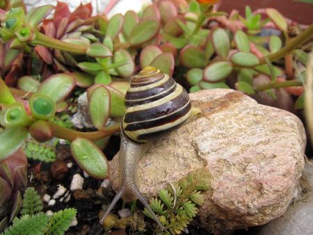 freshwater: Freshwater garden snail slug slowly crawls on the rock closeup