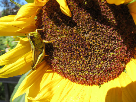 caelifera: Green grasshopper eats and damages blooming sunflower closeup