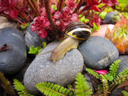 De agua dulce caracol de jardín lingote se arrastra lentamente en el primer de la roca