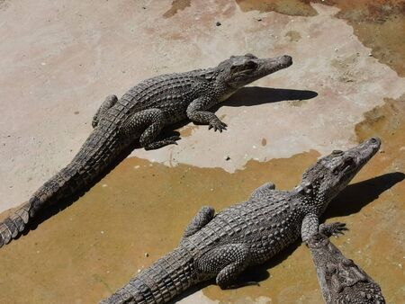 Cuban crocodiles resting, waiting for food in the breeding farm