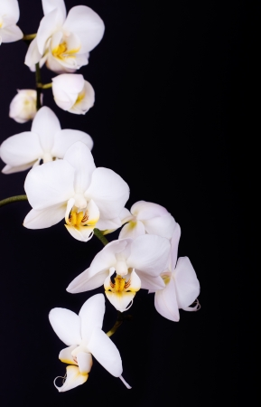 White orchid on the black background  Vertical image with space for text