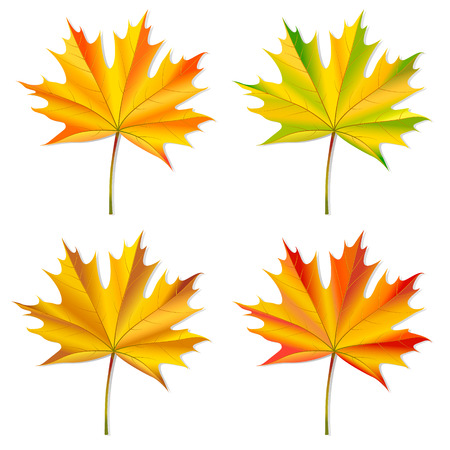 fall leaves on white: Set of maple leaves  Isolated on white  Vector illustration